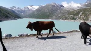 mattmark vache